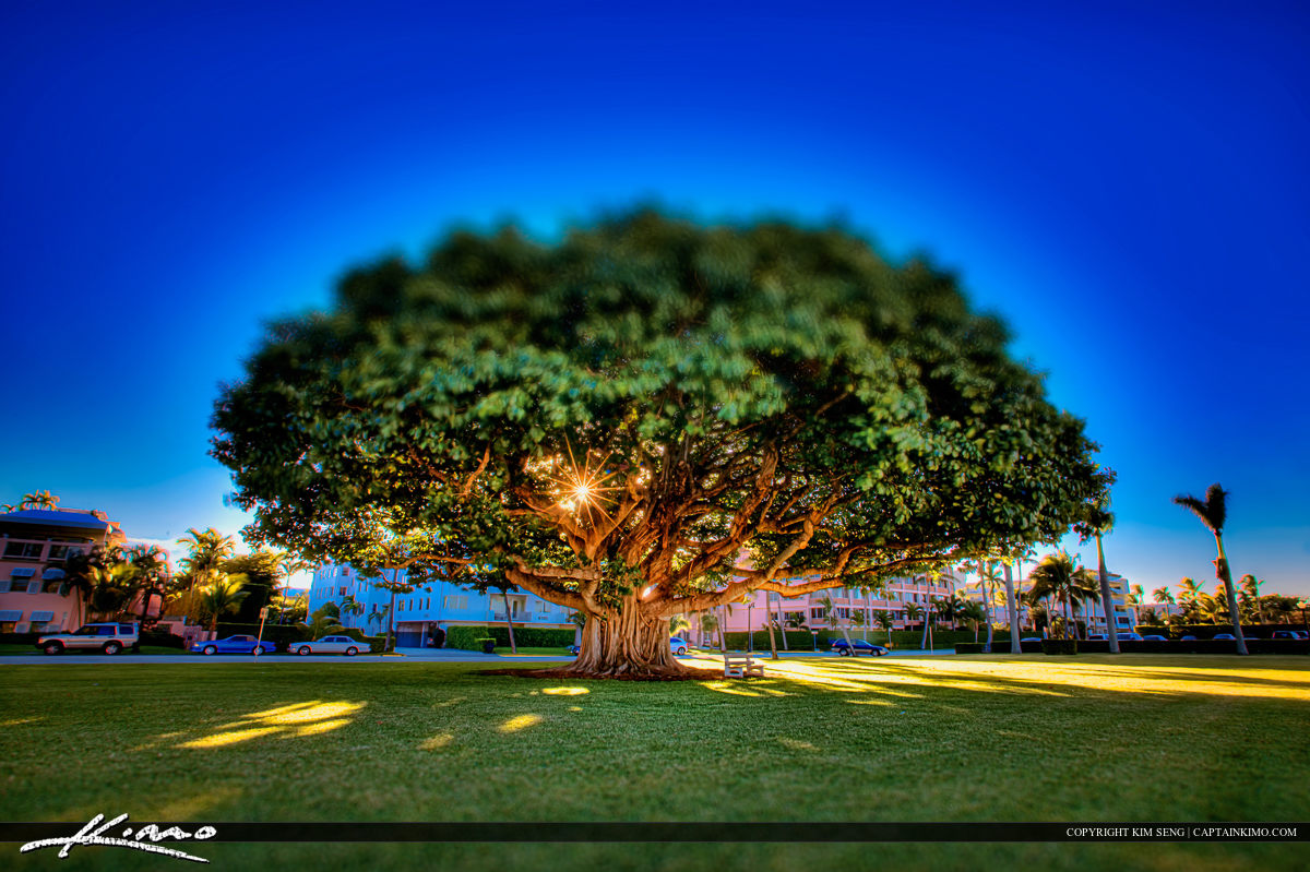 Palm Beach Island Banyan Tree at Park
