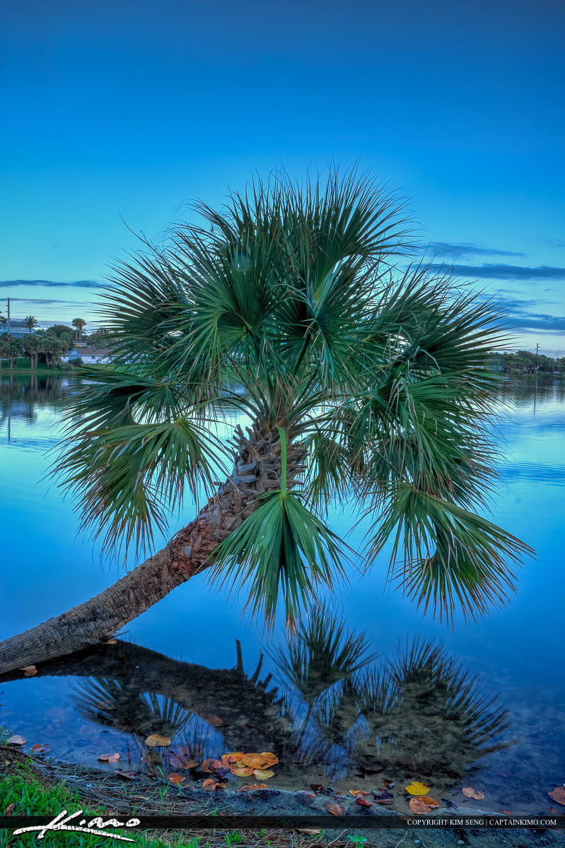 Palm Tree in Lake a Park in Juno Beach