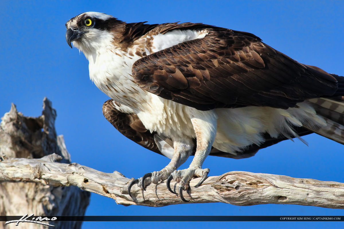 Osprey from Blue Cypress Lake Perched in Cypress Tree