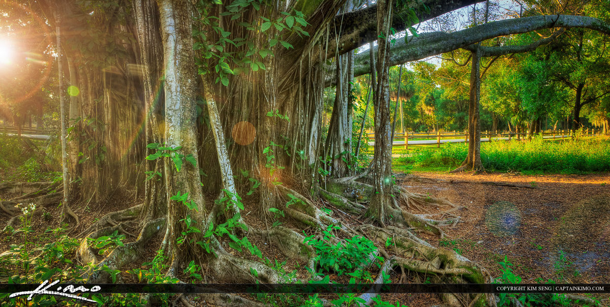 Large Banyan Tree and Roots with Vines