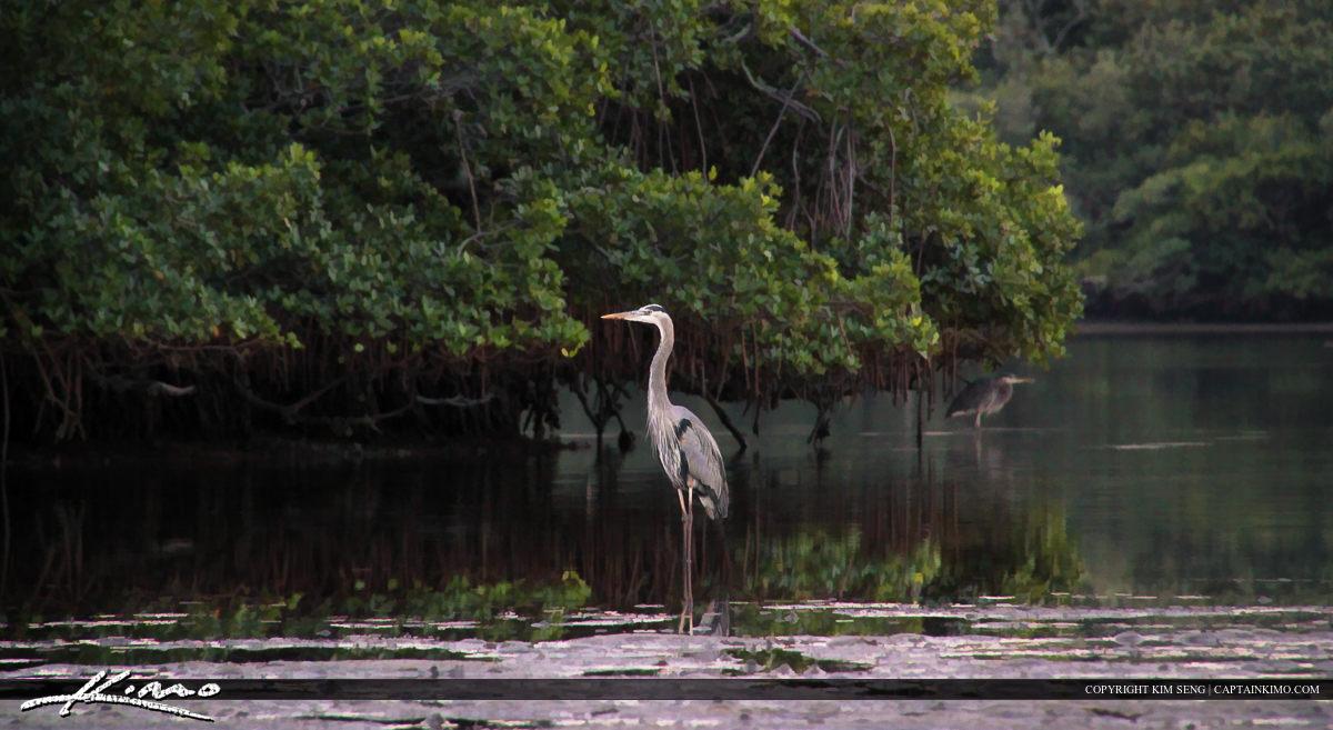 Blue Heron at the Lake Worth Lagoon