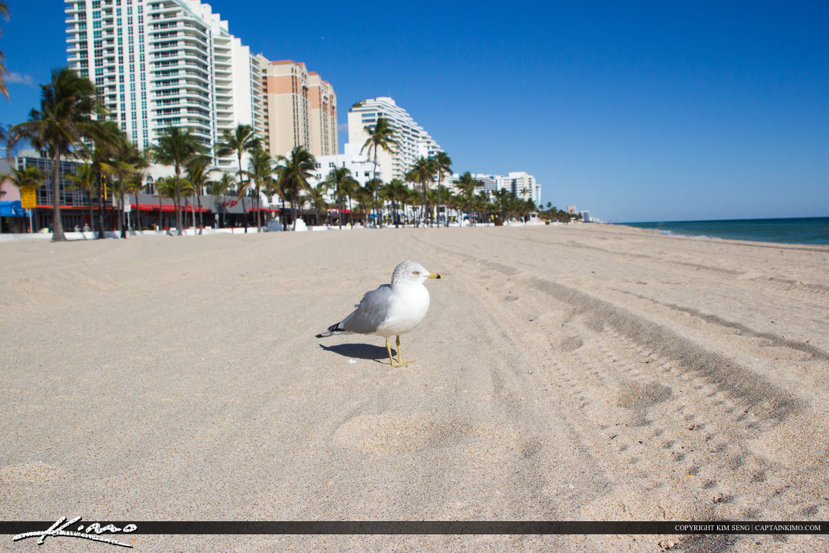 Fort Lauderdale Seagull at Beach