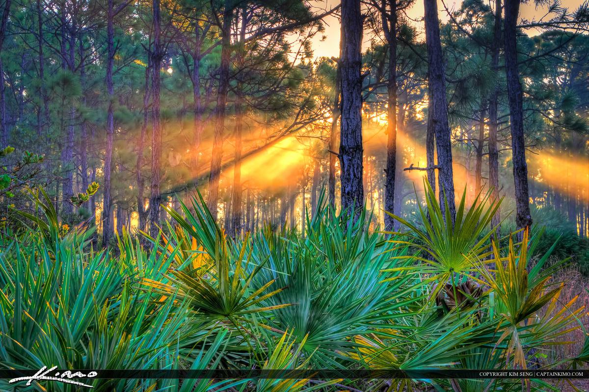 Sun Ray Through Foggy Florida Pine Forest