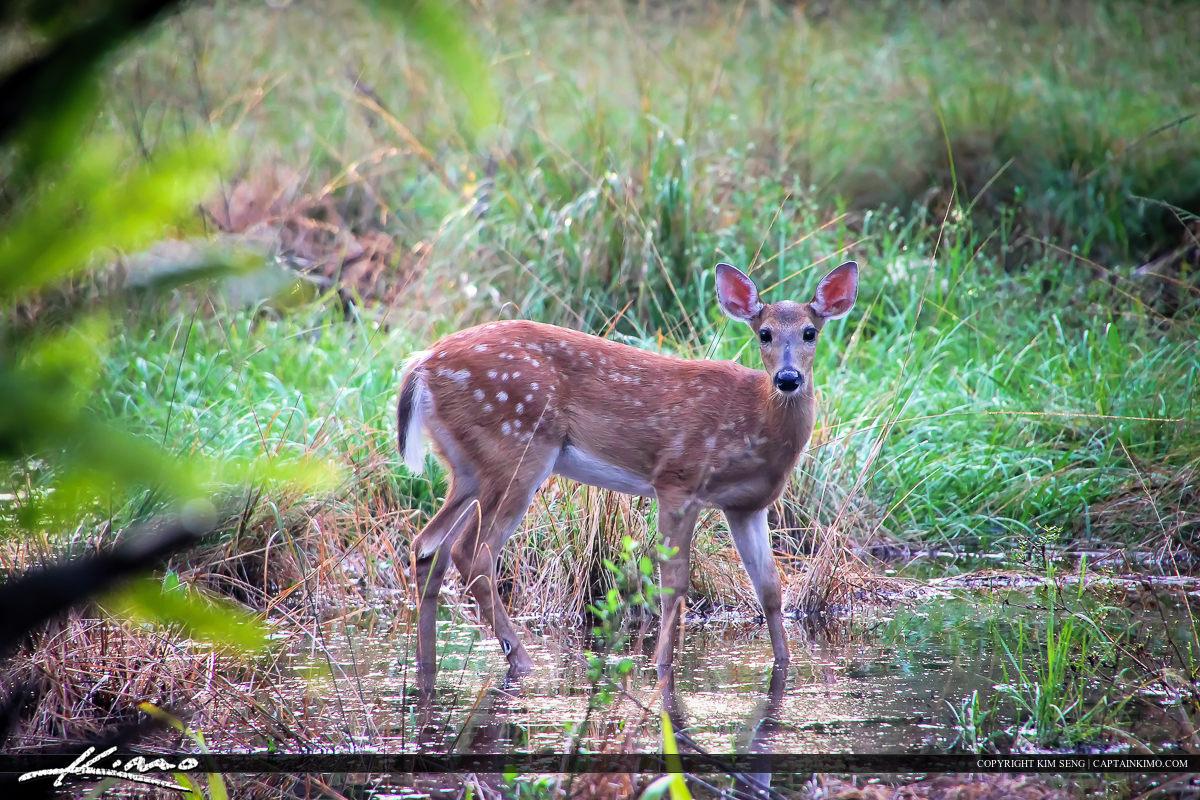 Deer at Swampy Marsh in Riverbend Park Jupiter Florida