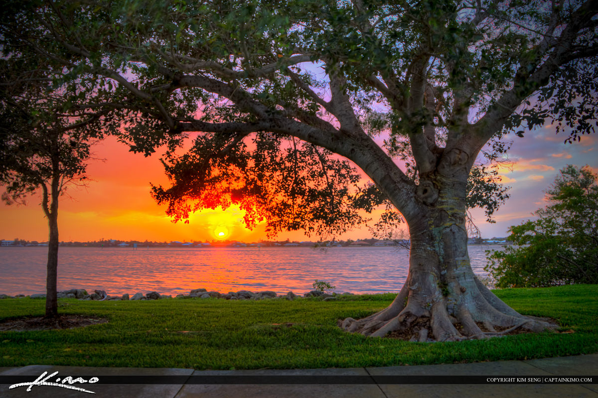 Fig Tree at Park During Sunset Vero Beach Florida Indian River C