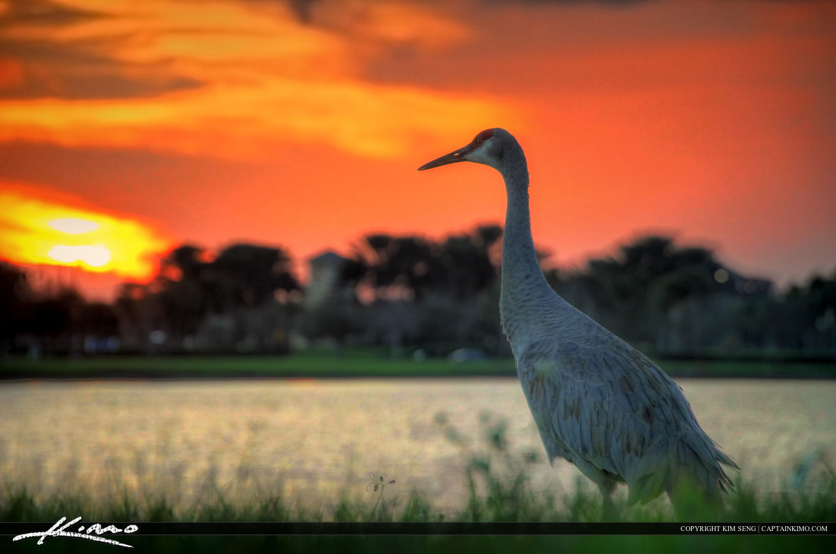 HDR Photography Image of Sandhill Crane Port St Lucie
