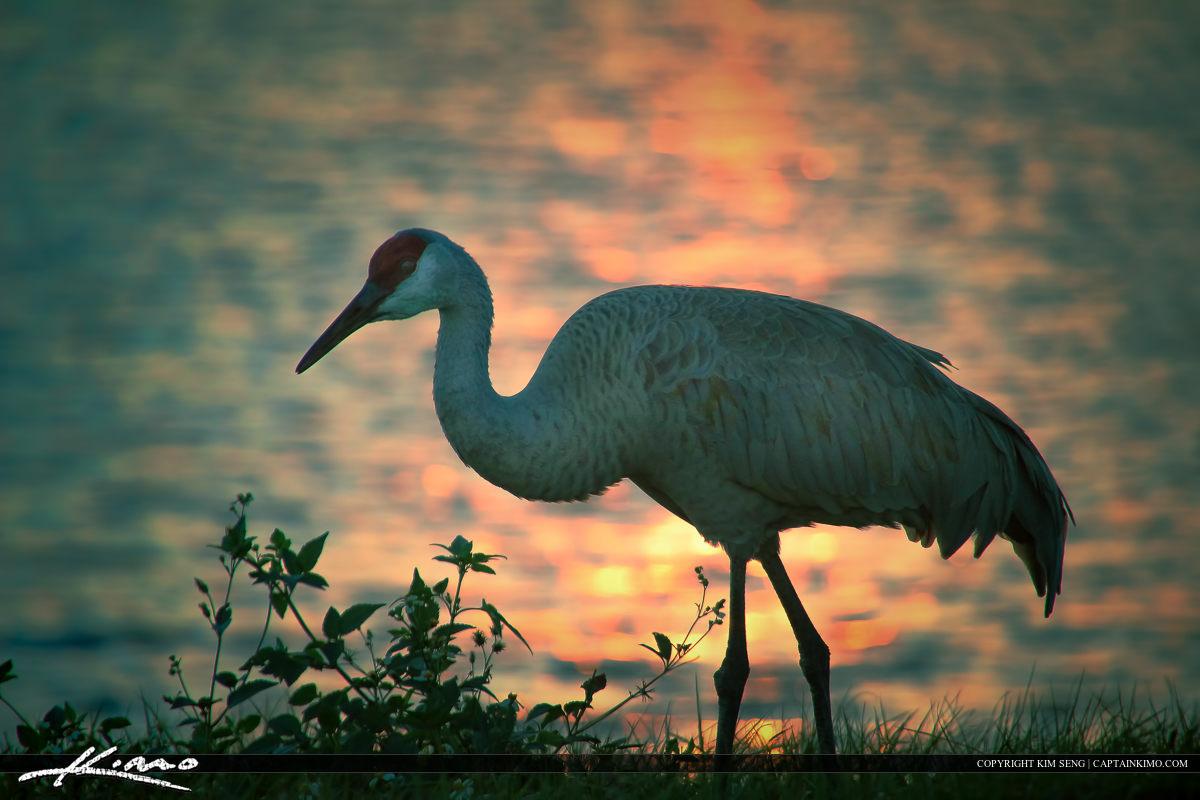 Sandhill Crane Bird at Port St Lucie Lake