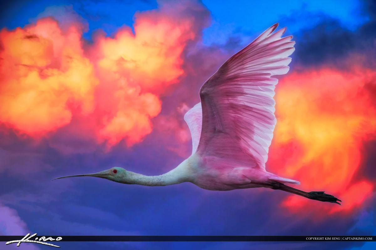 Spoonbill Flying Through Pink Sky