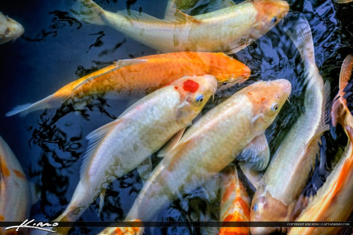 Koi Fish Golden Carp in Pond