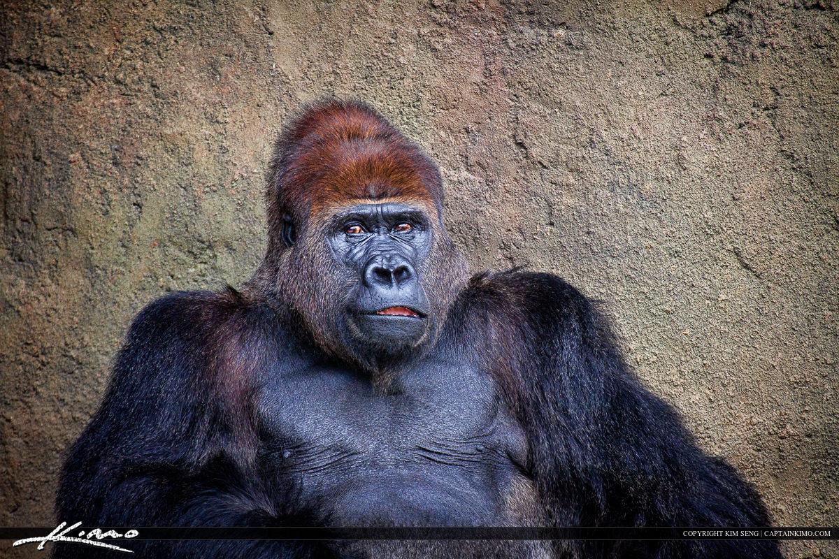 Male Silverback Gorilla Tribe Leader