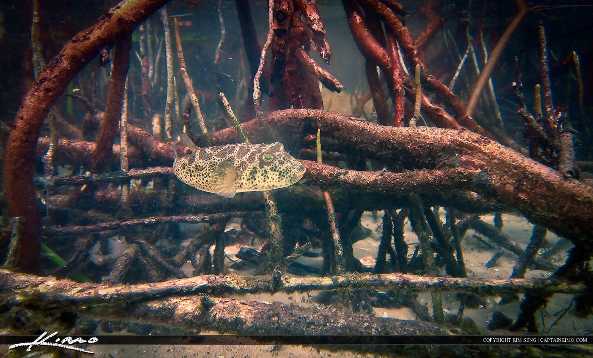 Puffer Fish in Mangrove Roots Underwater Snorkeling Florida