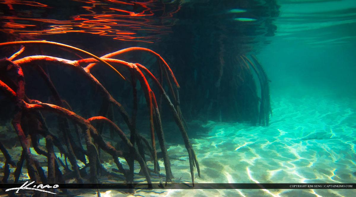 Red Mangrove Roots Underwater at Jupiter