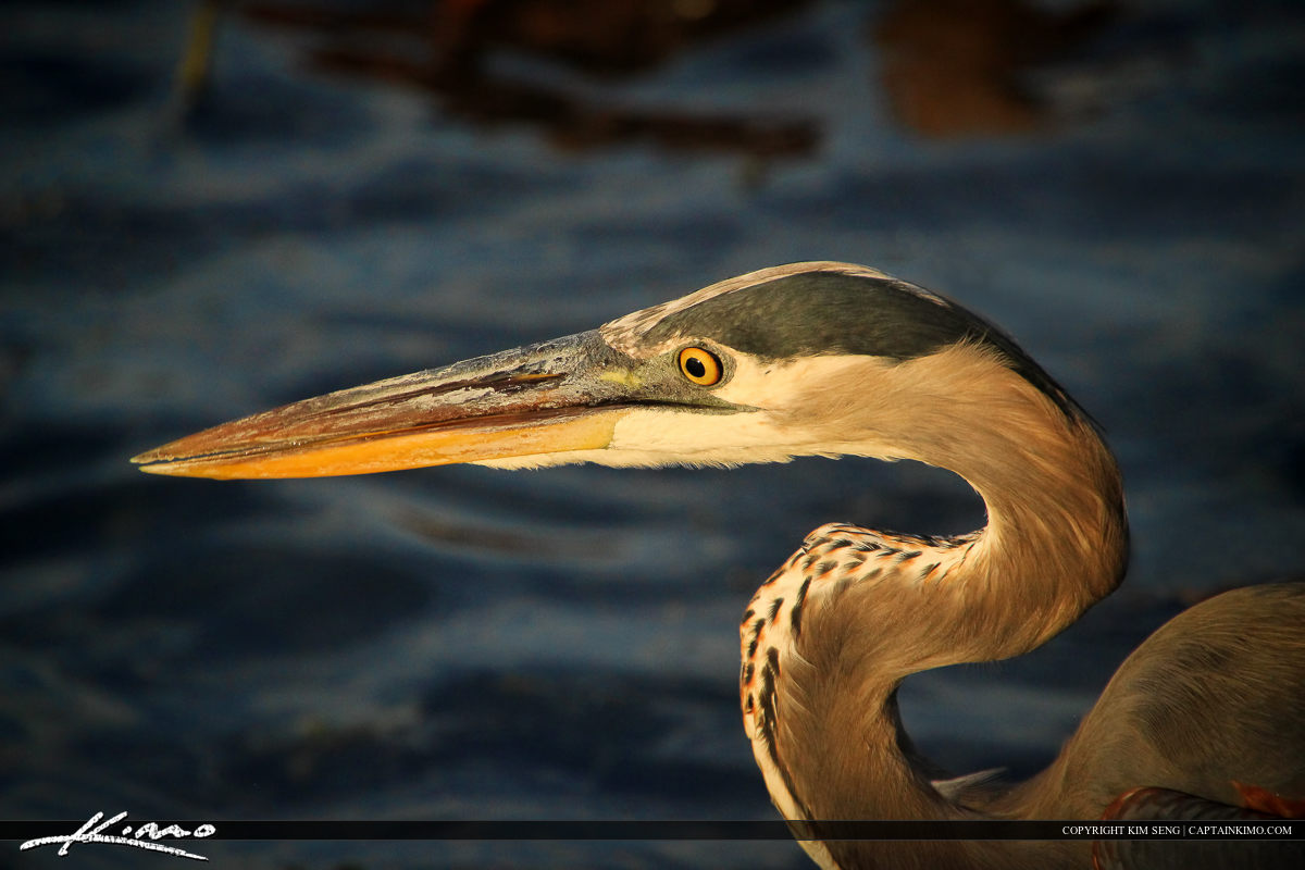 Single exposure photograph of a great blue Heron bird head