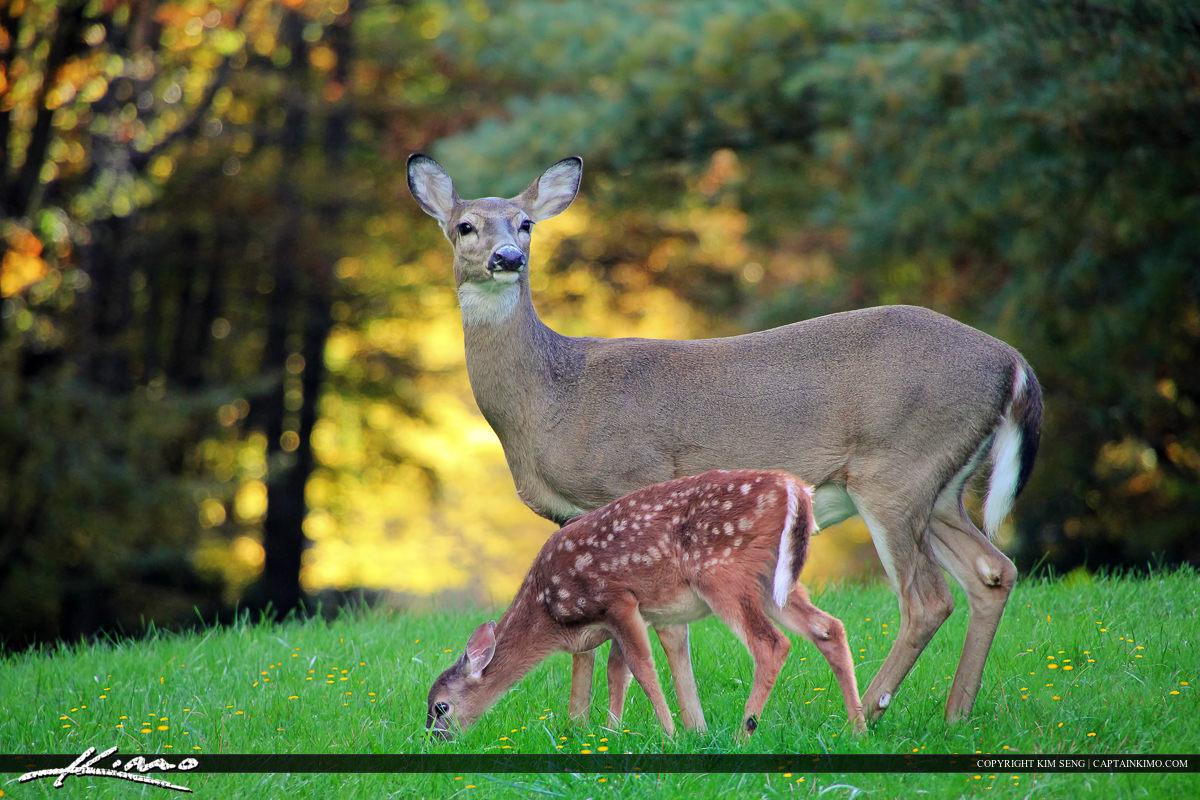 Mother Deer and Baby Fawn at Blue Ridge Mountain Parkway North Carolina