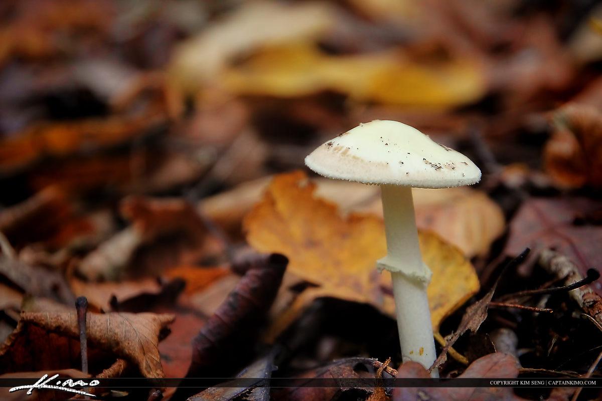 Wild Mushrooms from North Carolina White Umbrella Cap
