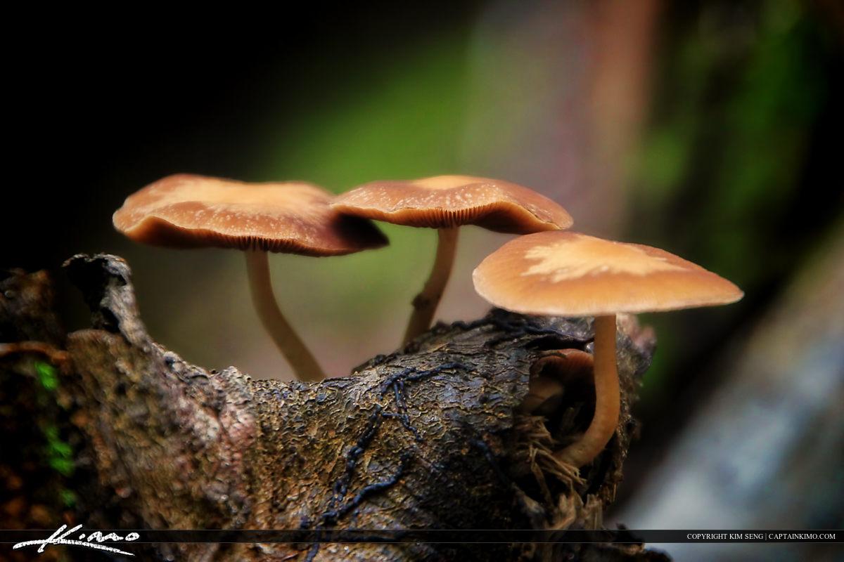 Wild Mushrooms from North Carolina Umbrella Cap