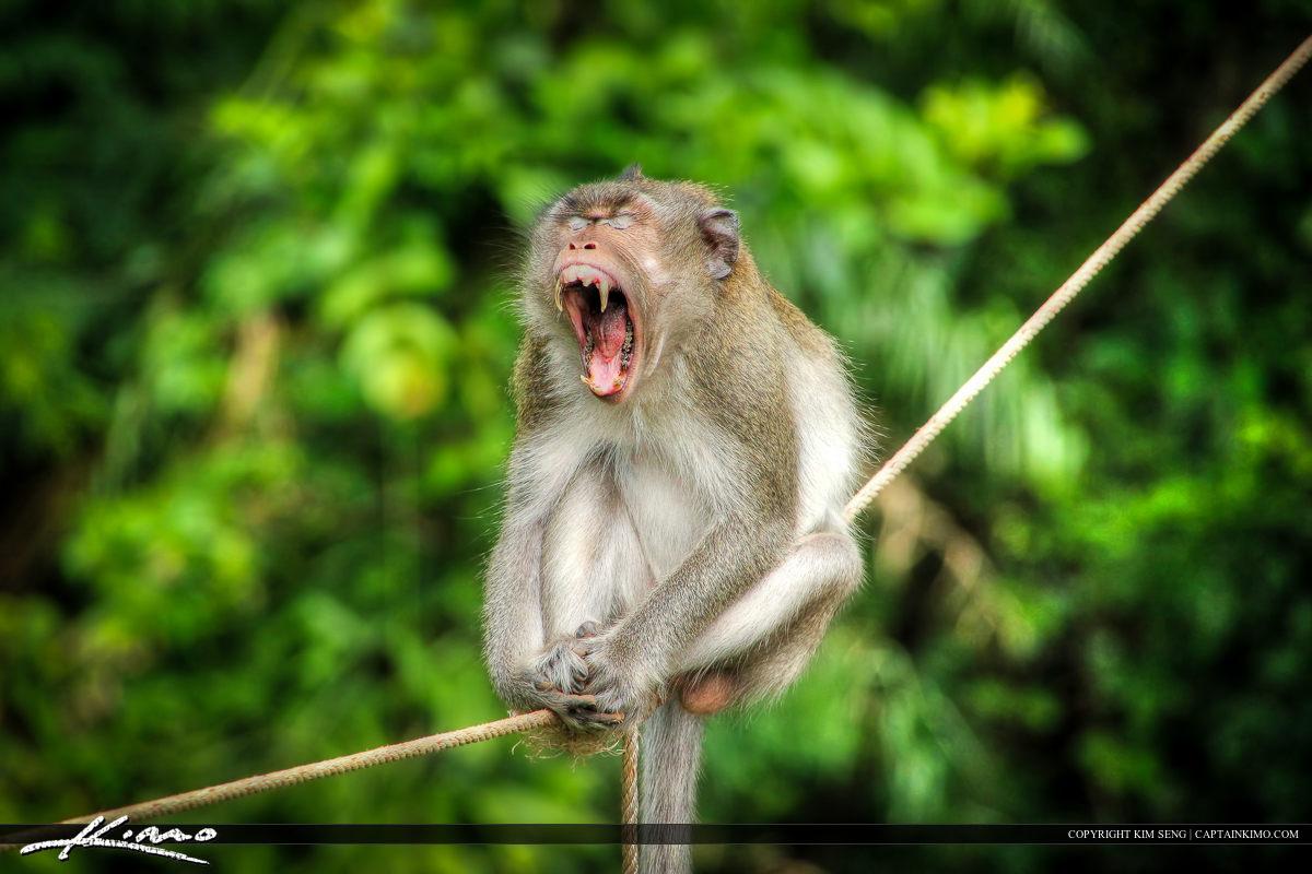 Monkey at Kampong Som Yawning Cambodia