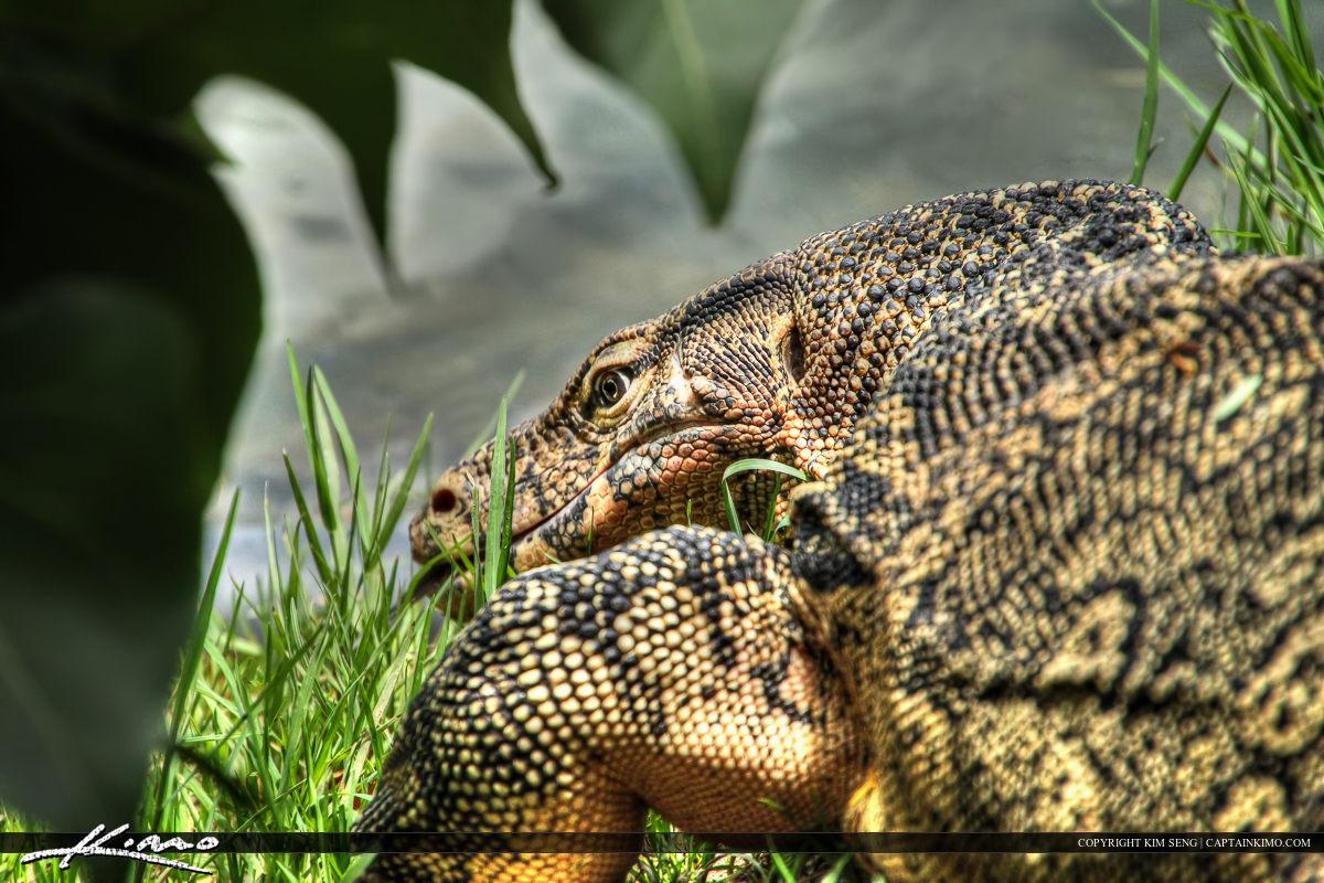 Monitor Lizard from Lumphini Park Bangkok Florida