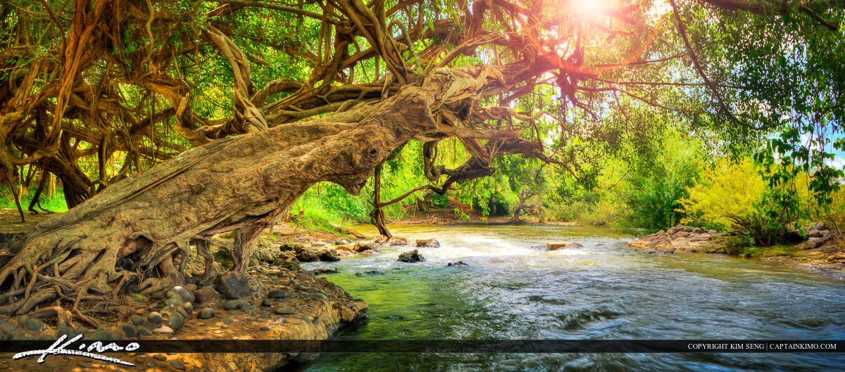 River Flowing Underneath Large Tree in Cambodia