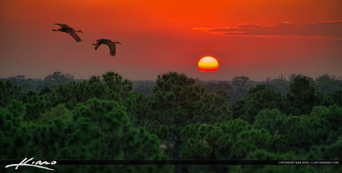 Sandhill Crane Pair Flying Over Florida Pine Forest at Sunset
