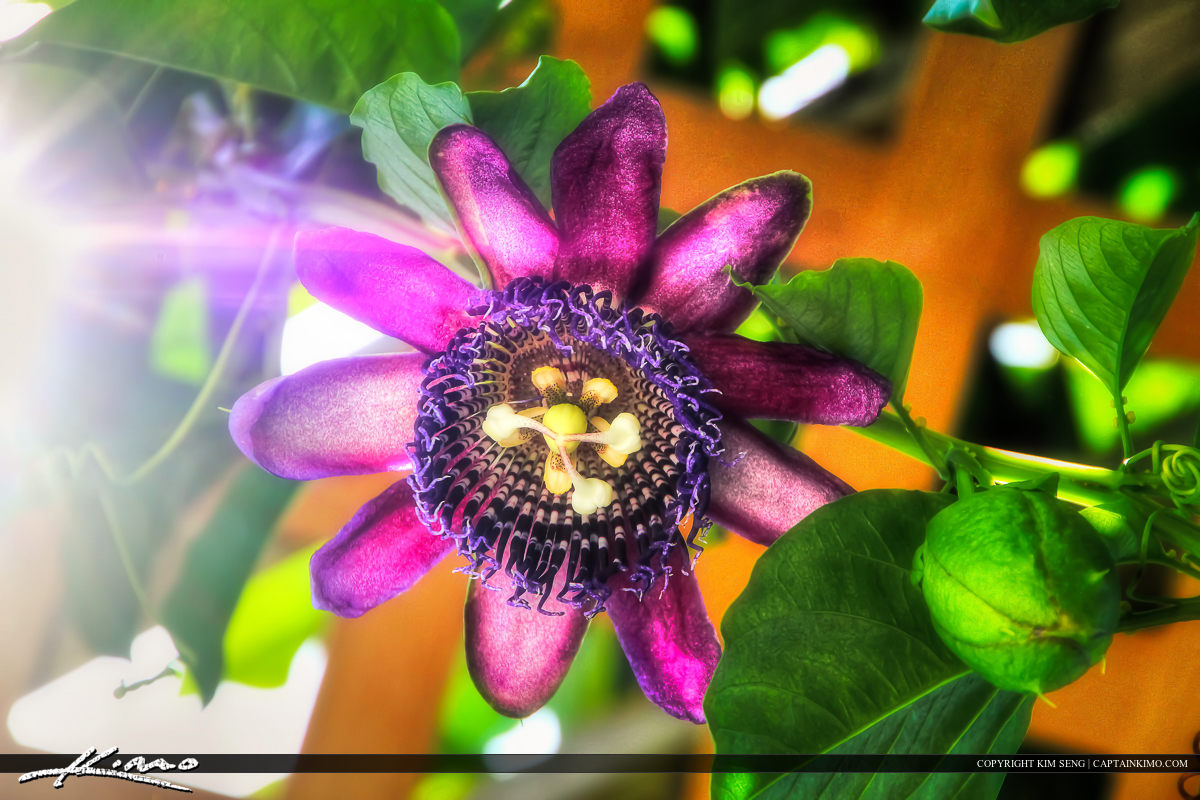 Purple Passion Flower Hanging from Vine