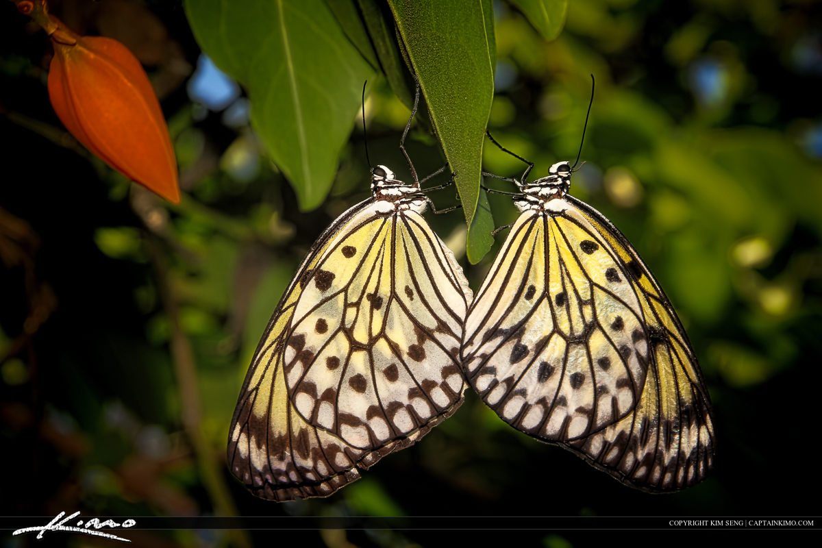 Pair of Butterflies Mating on Leaf