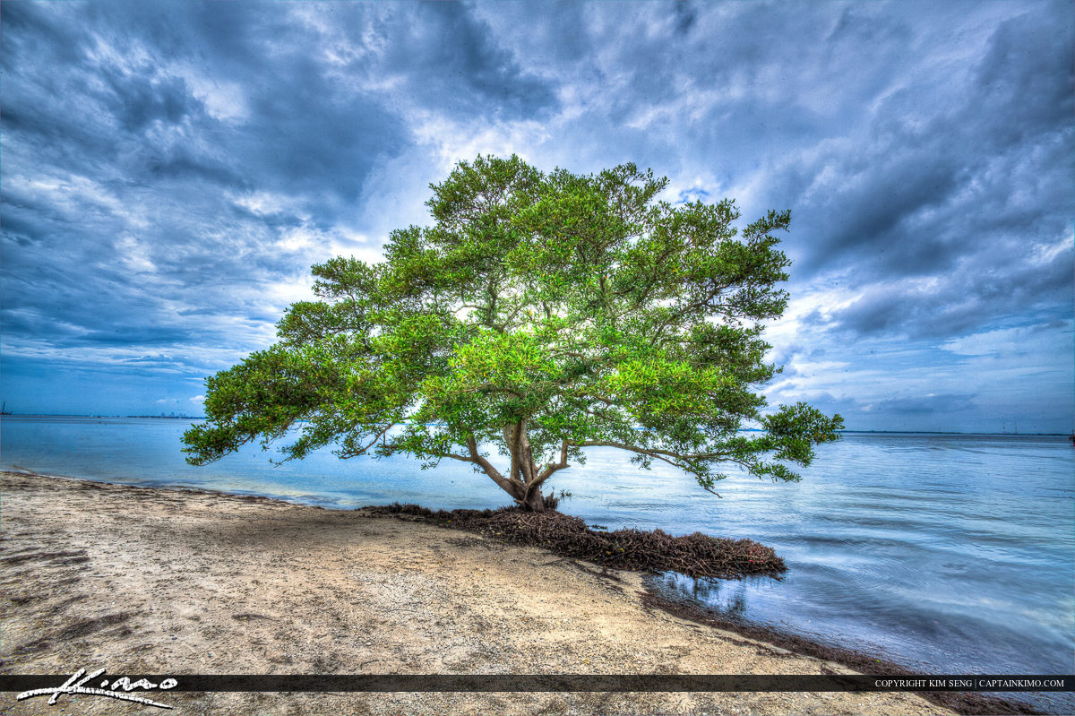Single Mangrove Tree from Tampa Bay