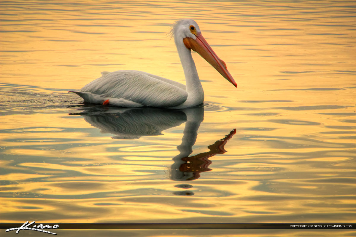 White Pelican from Ding Darling NWR Sanibel Island