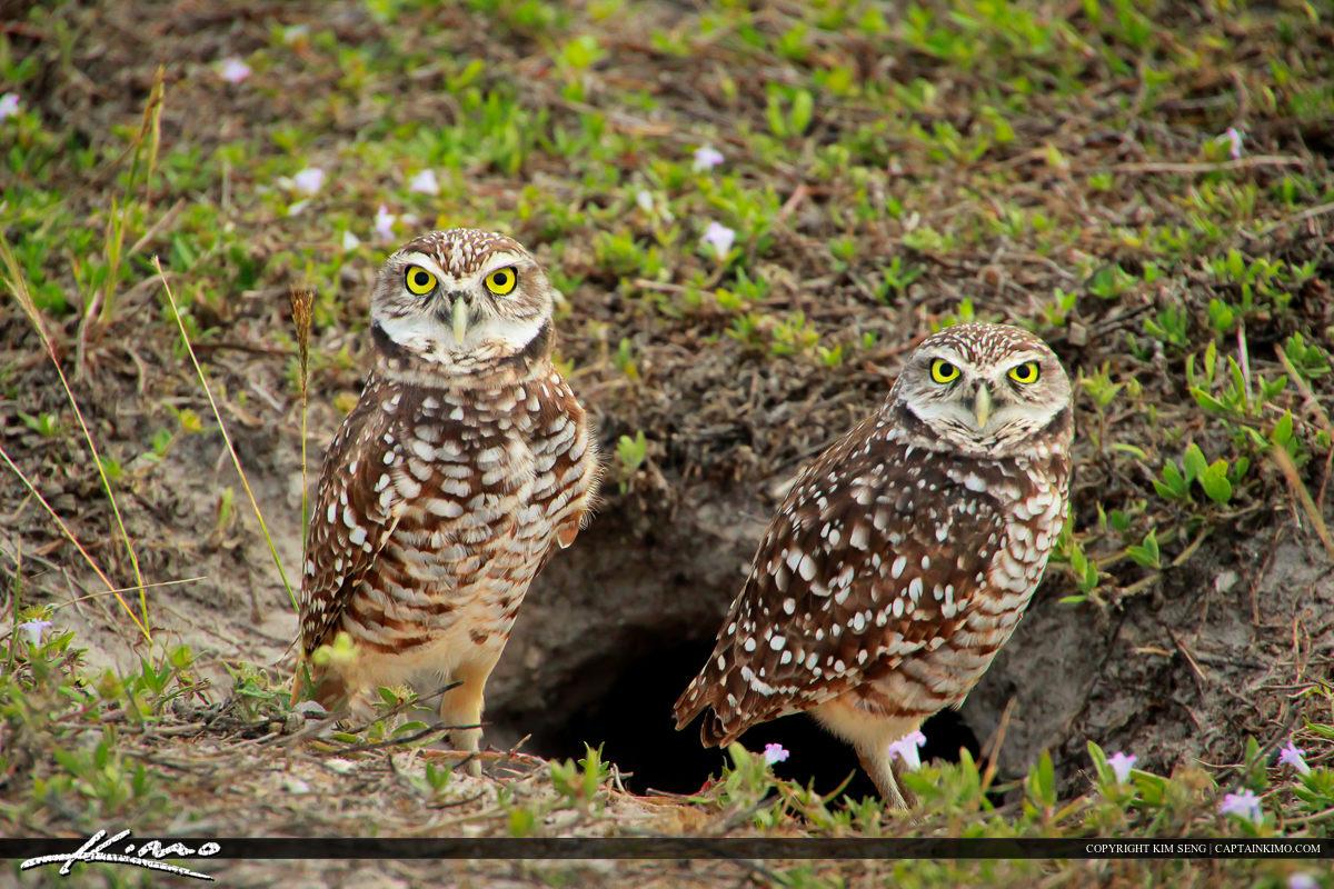 Pair of Burrowing Owls at Marco Island Florida