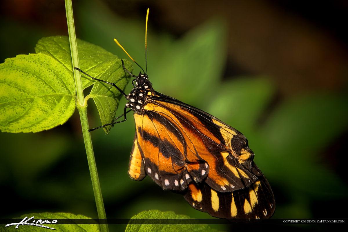 Butterfly Orange on Leaf