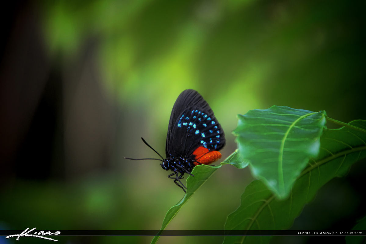 Atala butterfly perched on leaf from backyard
