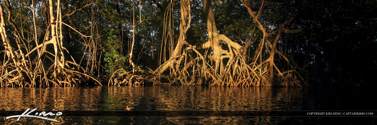 Indian River Lagoon Mangrove Roots