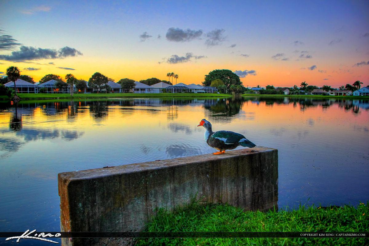Muscovy Duck Palm Beach Gardens Lake