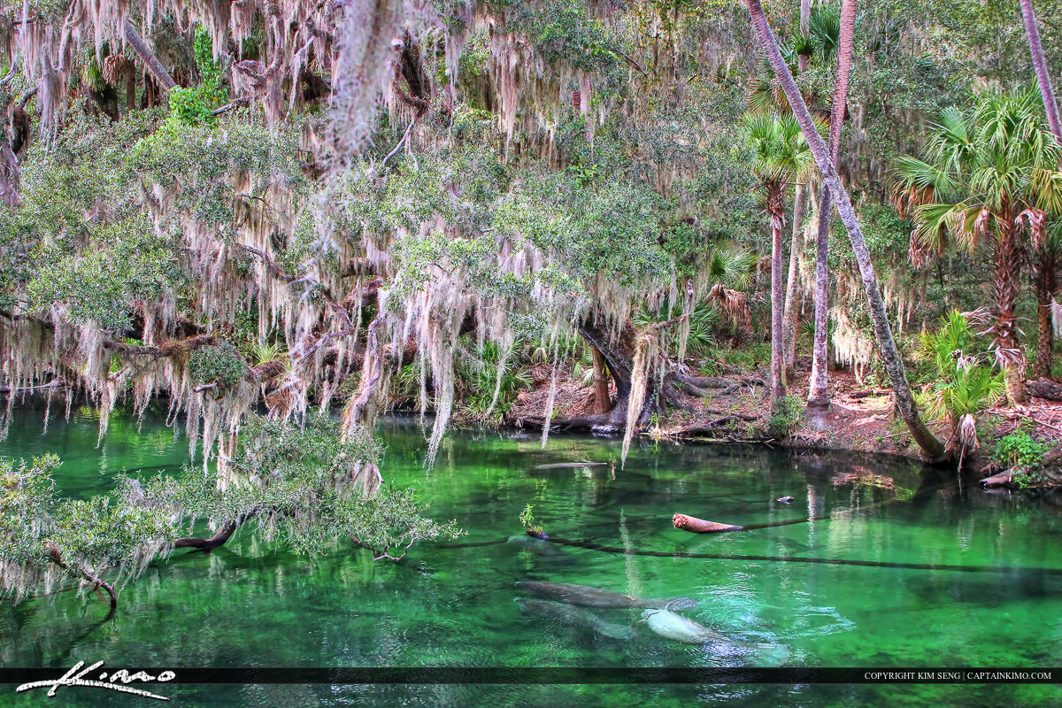 Blue Springs State Park Manatees in River