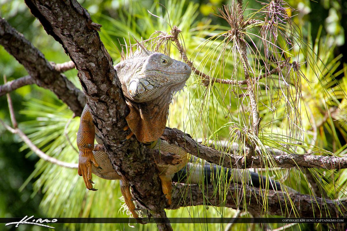 Iguana Laying on Pine Tree in Morikami