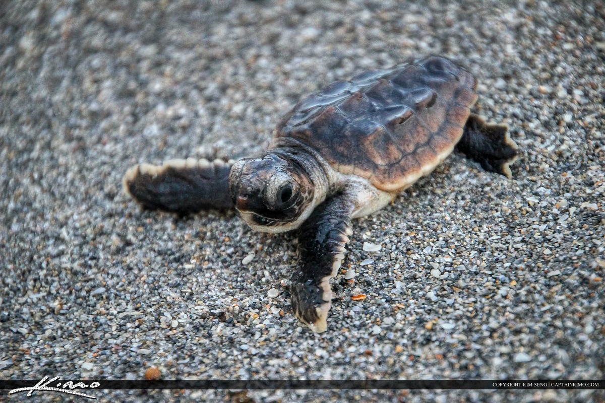 Baby Loggerhead Sea Turtle on Beach Going to Ocean