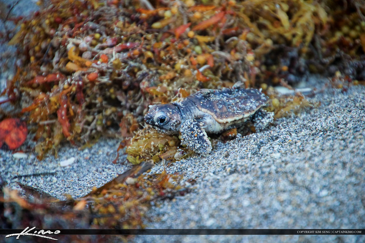 Baby Sea Turtle at Beach Crawling Over Seaweed