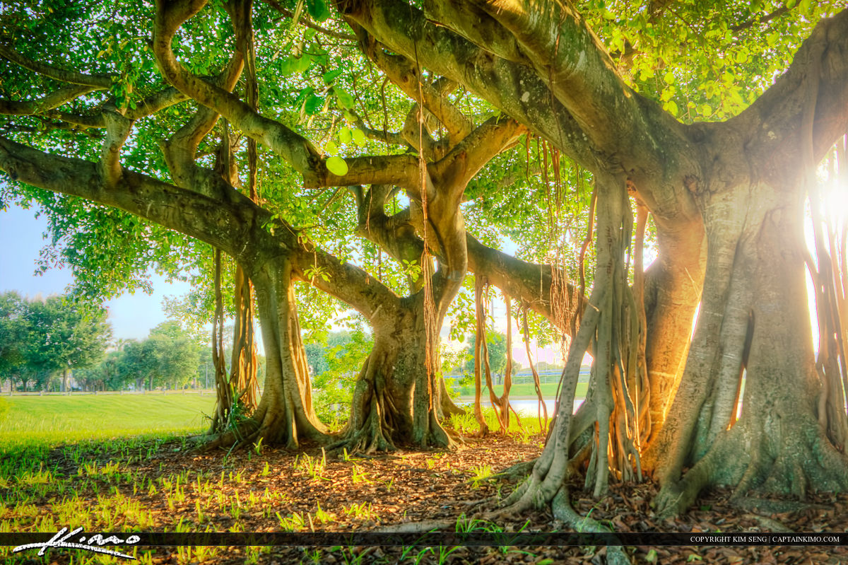 Banyan Tree at Dreher Park West Palm Beach