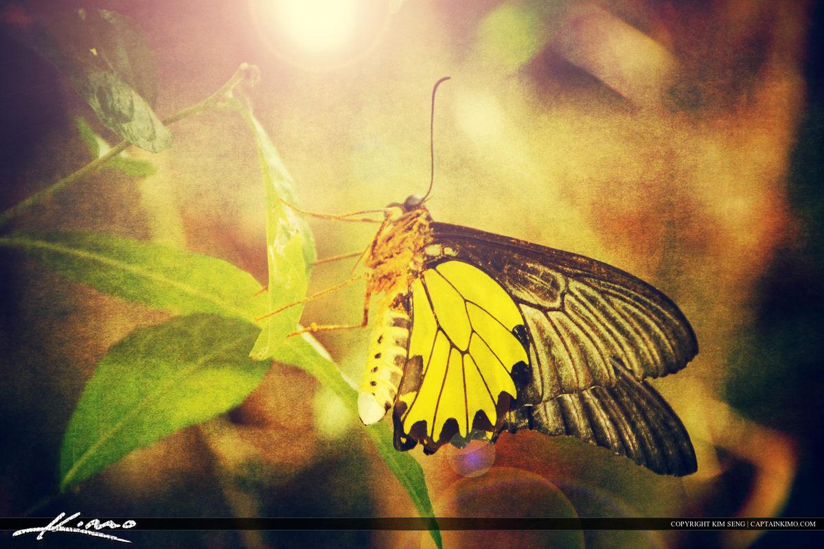 Golden Birdwing Southeast Asia Butterfly Cambodia