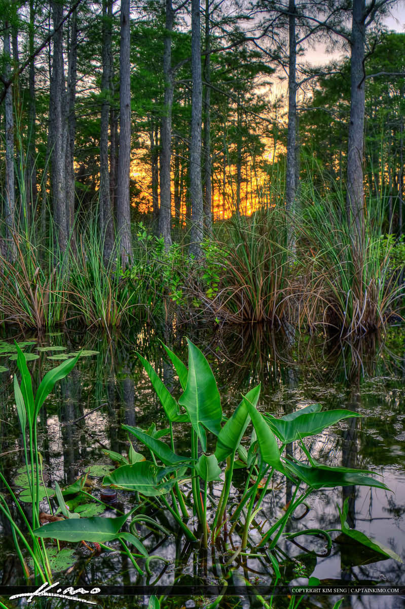 Backwater Canal in Loxahatchee Slough Cypress Tree Forest