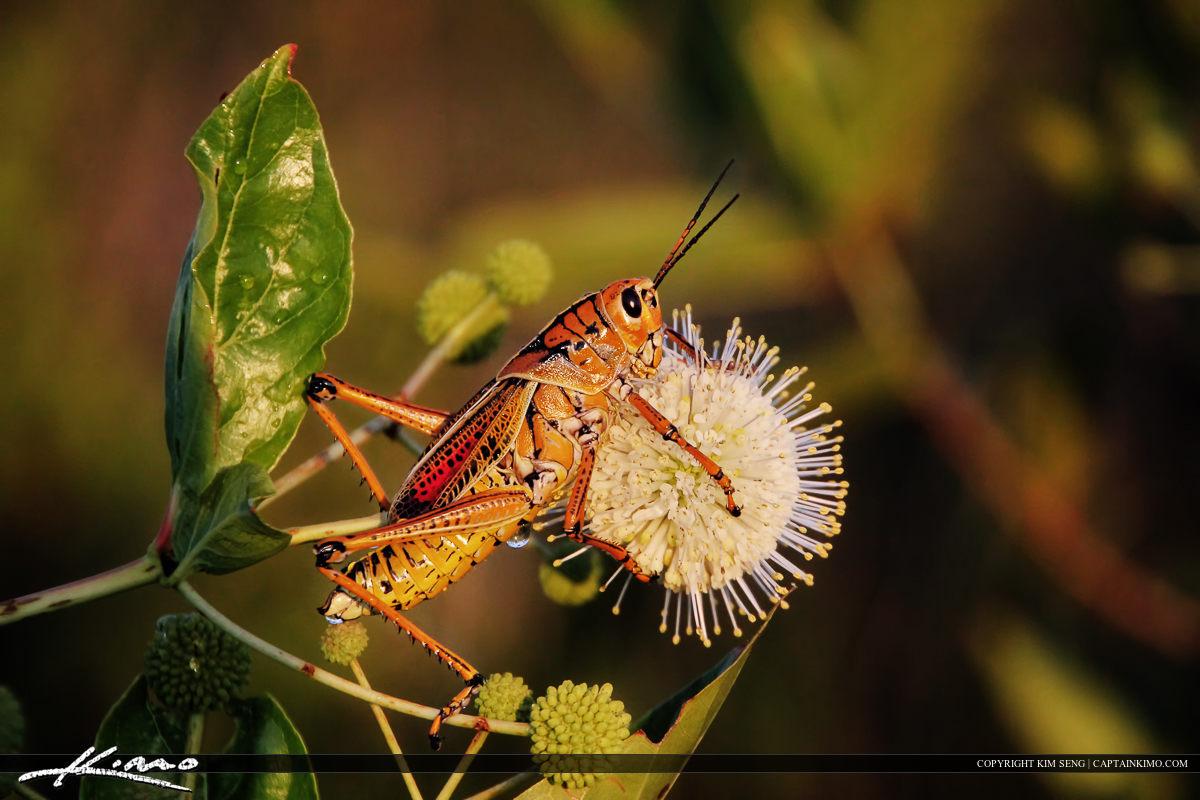 Lubber Grasshopper on White Flower Ball at Wetlands