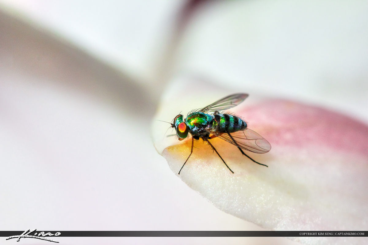 Fruit Fly on White Orchid Up-close Macro Image