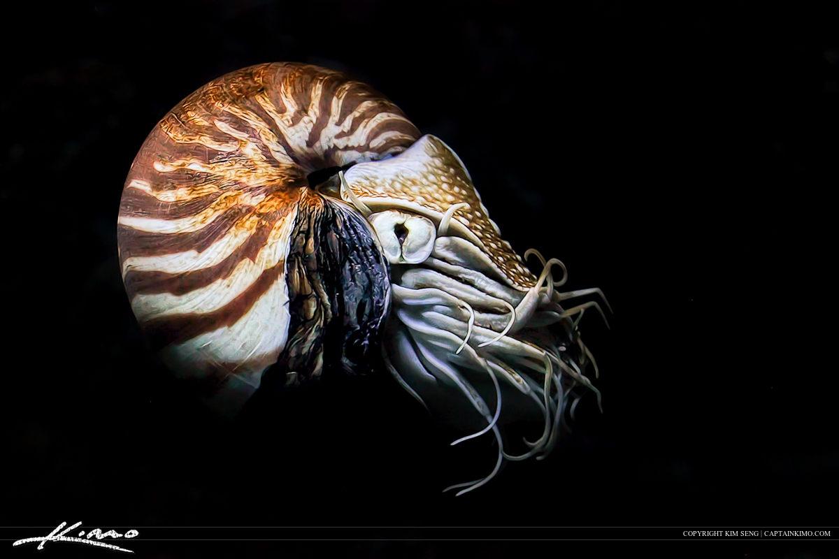 Nautilus Cephalopod from Siam Paragon Aquarium Bangkok Thailand
