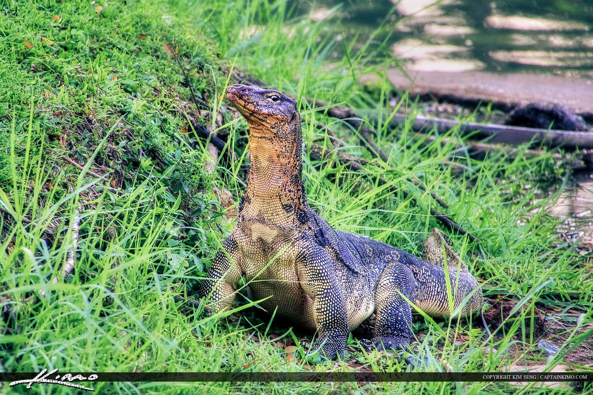 Large Monitor Lizard Along Lake Shore in Bangkok Thailand