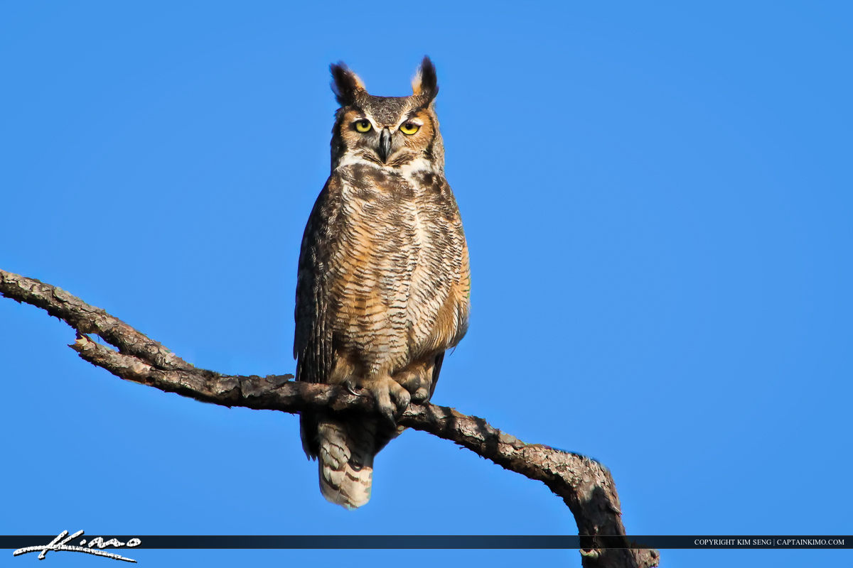 Great Horn Owl Perched in Pine Branch in Forest
