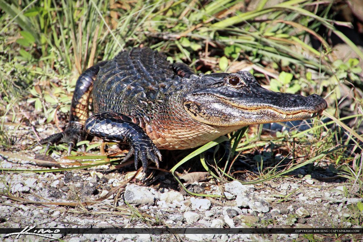 Gator on the Prowl on Loop Road Everglades Florida
