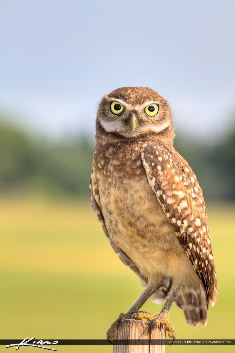 Burrowing Owl in Park at Hollywood Florida Standing on Post