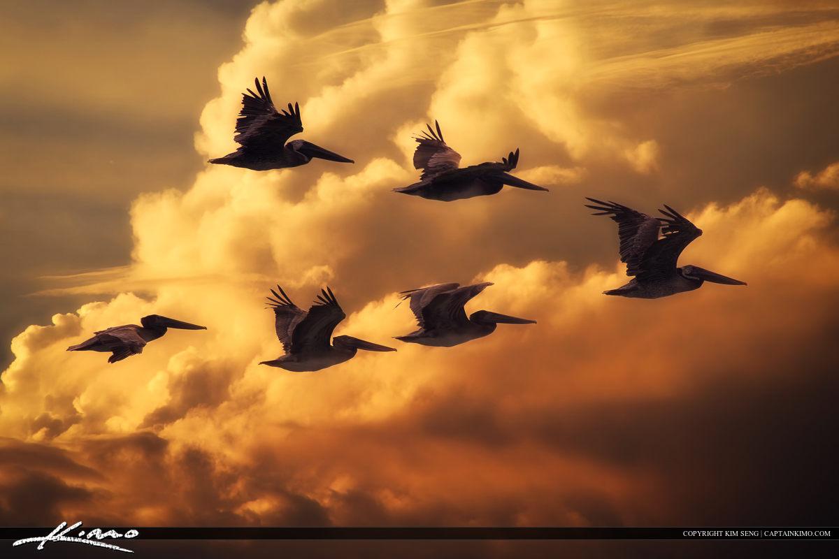 Flock of Pelicans Flying Through Florida Sky