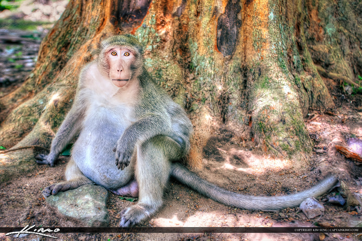 Fat Chunky Monkey at Siem Reap Cambodia Angkor Wat