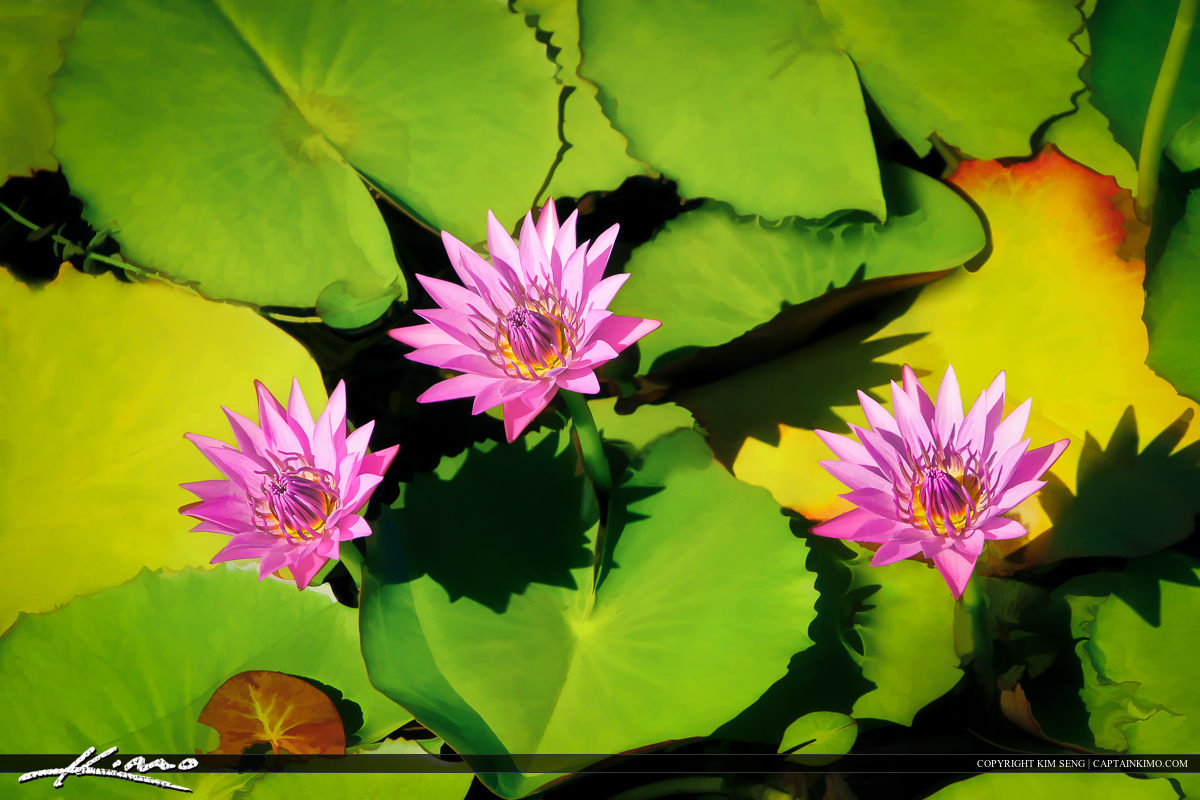 Lilypads with Flower from Small Florida Pond